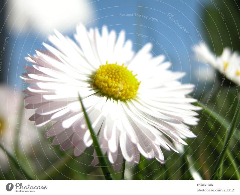 Flower Meadow Grass Daisy