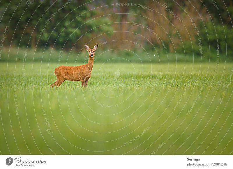 in pose Environment Nature Landscape Plant Animal Grass Meadow Field Forest Wild animal Animal face Pelt 1 Observe Roe deer Female deer Colour photo