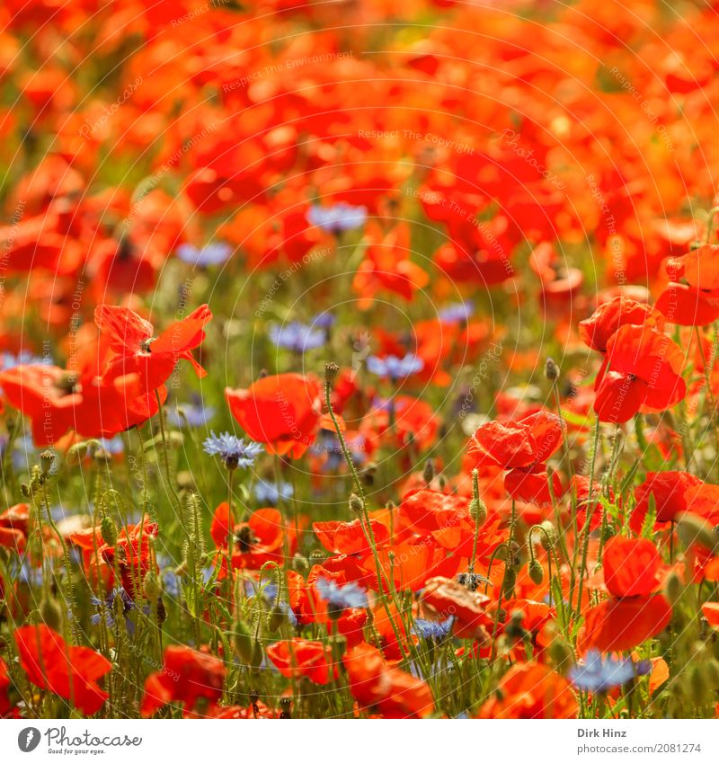 Nature Vacation & Travel Plant Summer Green Sun Red Environment Blossom Meadow Tourism Illuminate Field Agriculture Summer vacation Poppy