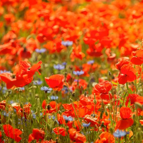 poppy field Vacation & Travel Tourism Summer Summer vacation Sun Environment Nature Plant Meadow Field Green Red Poppy Poppy blossom Poppy field Agriculture