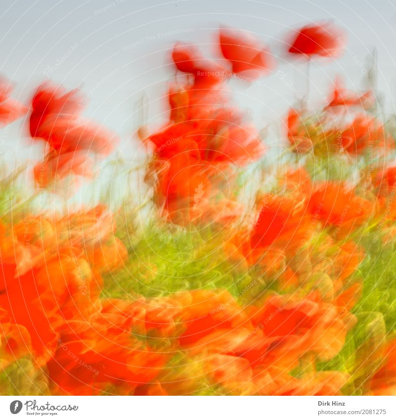 Poppy in action Environment Nature Plant Flower Blossom Agricultural crop Wild plant Meadow Field Movement Green Red Moody Art Joie de vivre (Vitality) Tourism