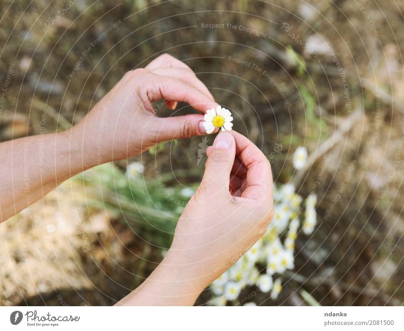 small white daisy in female hands Plant Summer Beautiful White Hand Relaxation Leaf Forest Yellow Blossom Love Natural Grass Feasts & Celebrations Bright Body