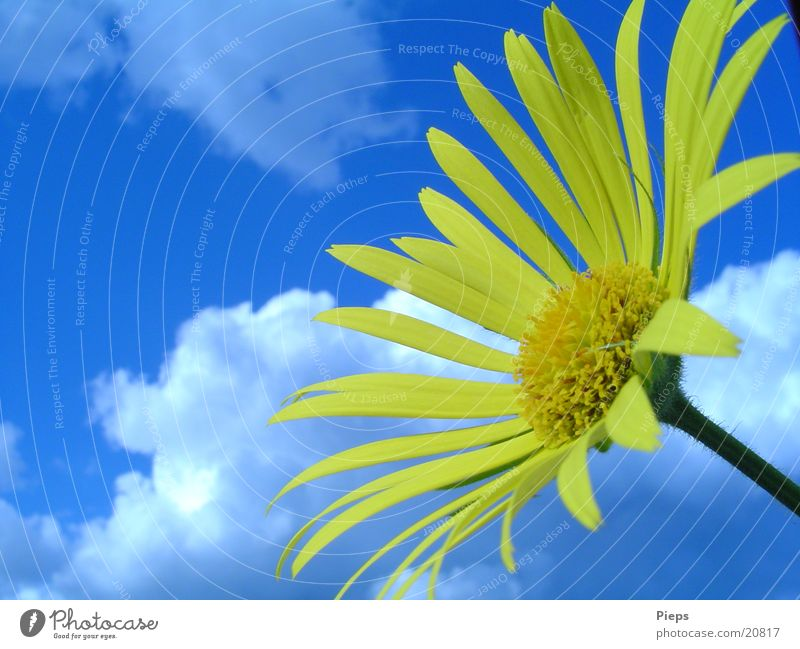 Sky Flower Blue Plant Clouds Yellow Blossom Spring Garden Transience Beautiful weather Marguerite May Herbaceous plants Spring fever Doronicum