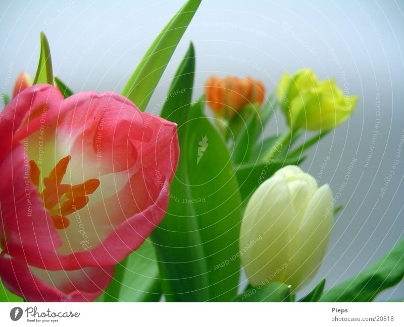 Repeated Flowery Colour photo Interior shot Day Garden Plant Spring Tulip Blossom Bouquet Jump April Delicate flowers Multicoloured