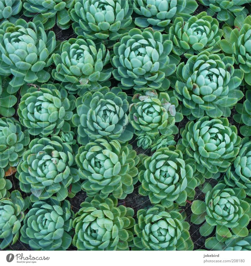 lettuce Plant Earth Succulent plants Growth Green Garden Bed (Horticulture) Many Together Multiple Side by side Accumulate Ornamental plant Leaf green