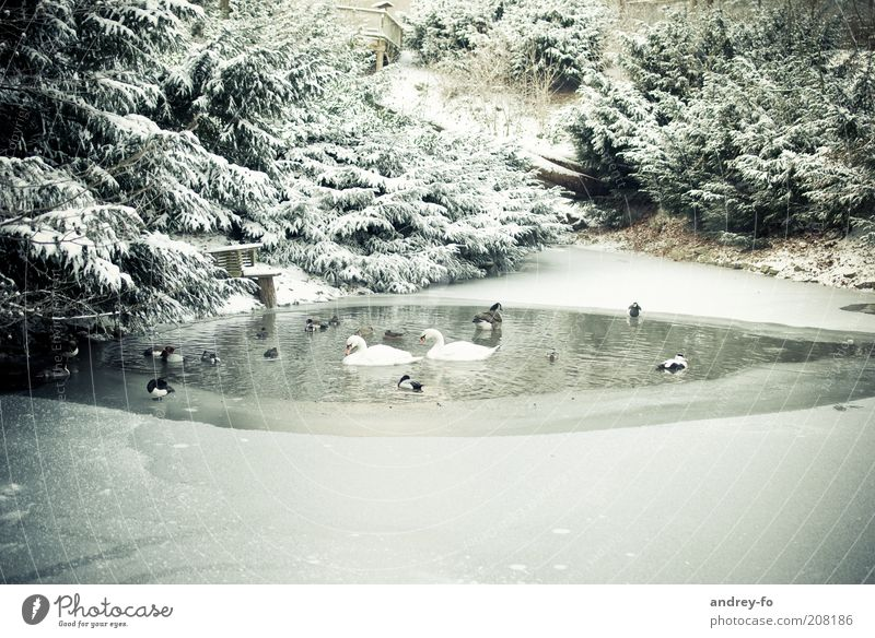 Birds in the winter pond. Winter Environment Nature Landscape Water Beautiful weather Bad weather Snow Park Forest Pond Animal Wild animal Swan Group of animals