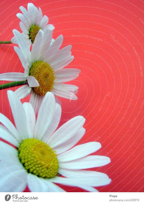 White Flower Plant Red Blossom Spring Garden 3 Marguerite Spring fever Meadow flower