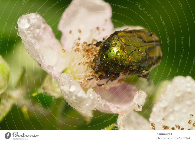 soaking wet Nature Animal Water Drops of water Spring Bad weather Rain Plant Flower Rose Leaf Wild animal Beetle Rose beetle 1 Blossoming To feed Crouch Crawl