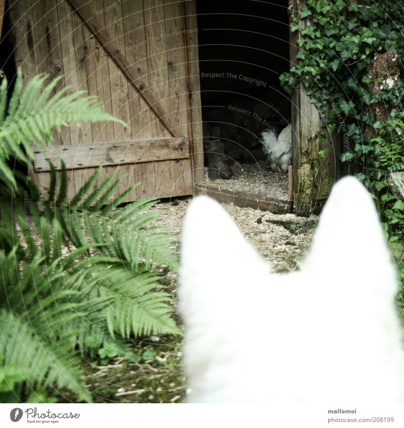 fast food Ivy Fern Pet Dog Barn fowl Rooster Observe Catch Hunting Threat Creep Flee Prey Ear Agriculture White Keeping of animals Escape Door Scaredy-cat Fear