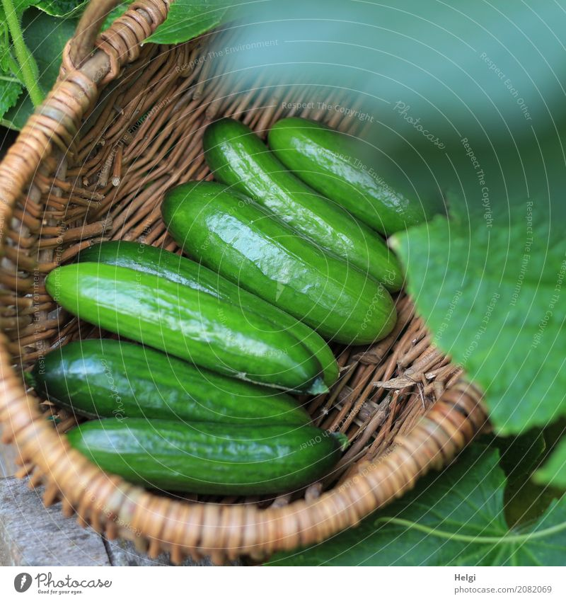 Freshly harvested Vegetable Cucumber Nutrition Organic produce Vegetarian diet Environment Nature Plant Leaf Agricultural crop Garden Basket Lie Authentic