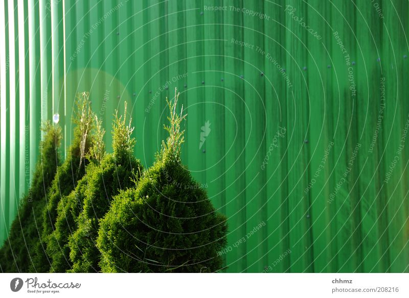 quartet Plant Bushes Foliage plant Metal Green Colour Back-light Row Thuja Colour photo Deserted Copy Space right Day Corrugated iron wall Behind one another
