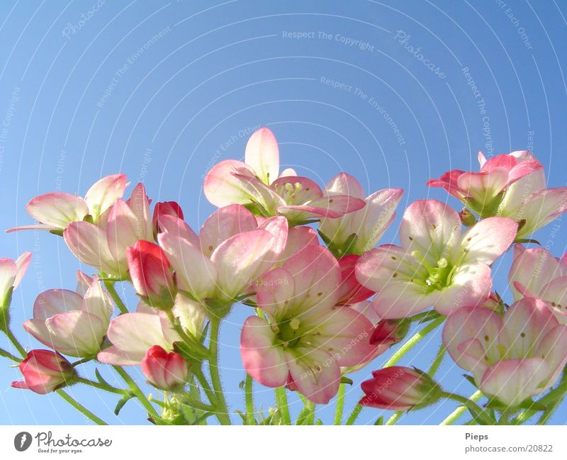 TinyTenderPink Colour photo Exterior shot Macro (Extreme close-up) Plant Sky Spring Flower Blossom Garden Transience May Delicate Seasons stone saxifrage Bud