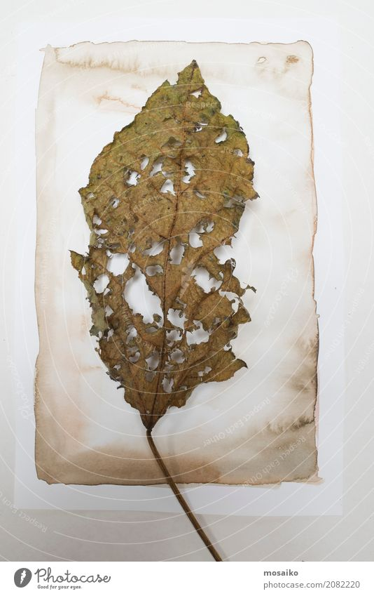 Herbarium. Old leaf on paper background Art Painting and drawing (object) Nature Plant Leaf Exotic Esthetic Contentment Design Botany Watercolor Watercolors