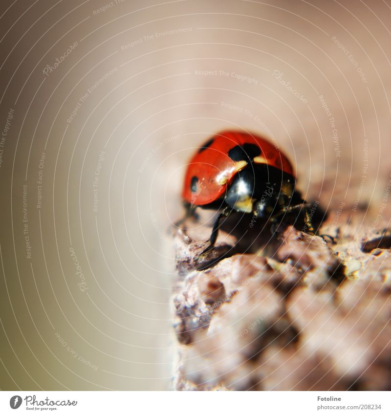 lucky beetle Environment Nature Animal Summer Wild animal Beetle Animal face Wing Crawl Ladybird Insect Red Black Point Colour photo Multicoloured Exterior shot