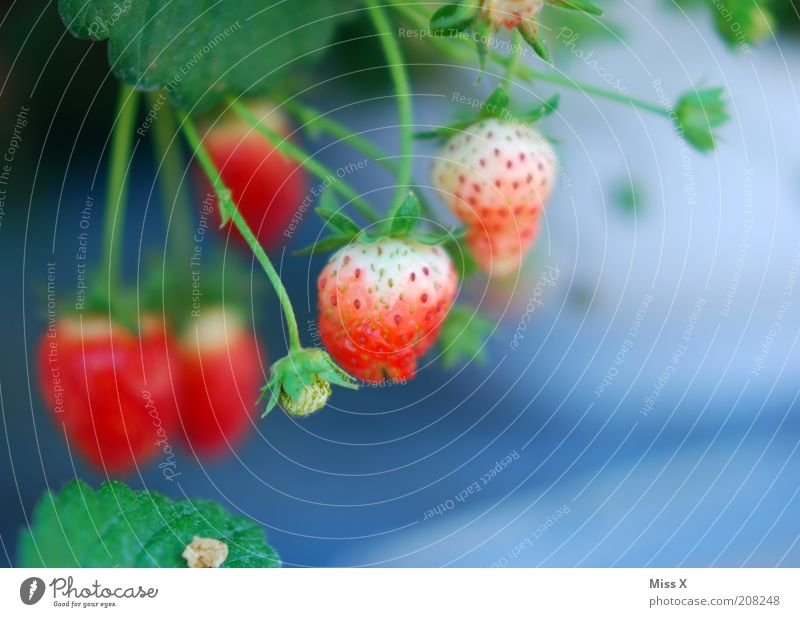 berry Food Fruit Nutrition Organic produce Vegetarian diet Plant Agricultural crop Growth Delicious Sweet Strawberry Immature Berries Blossom Colour photo