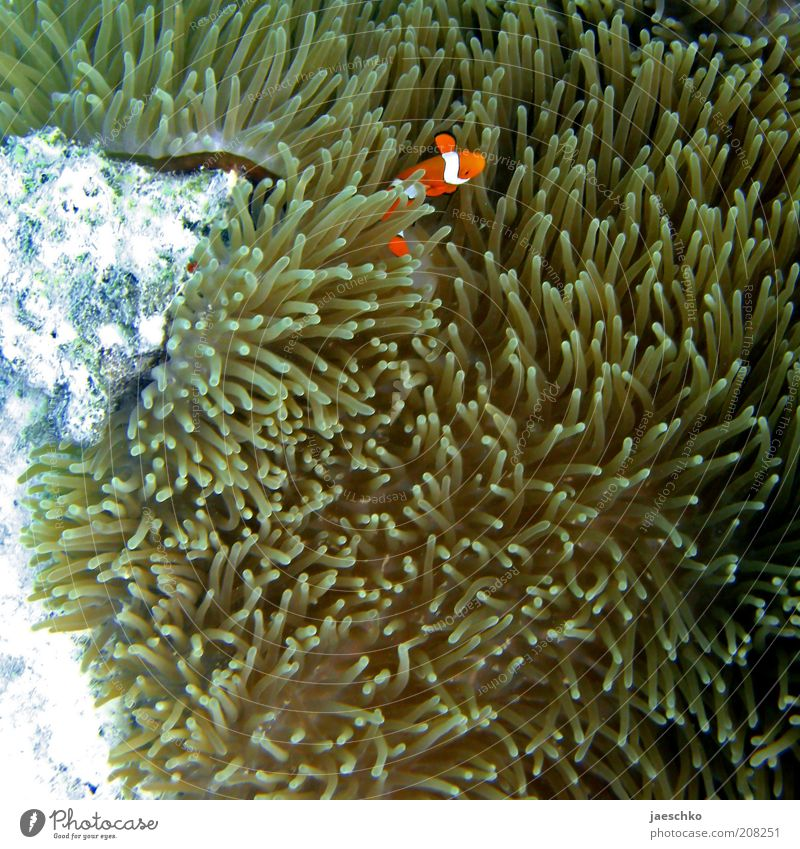 Nature Ocean Animal Contentment Orange Fish Safety Protection Dive Hide Underwater photo Safety (feeling of) Timidity Media Hiding place Australia