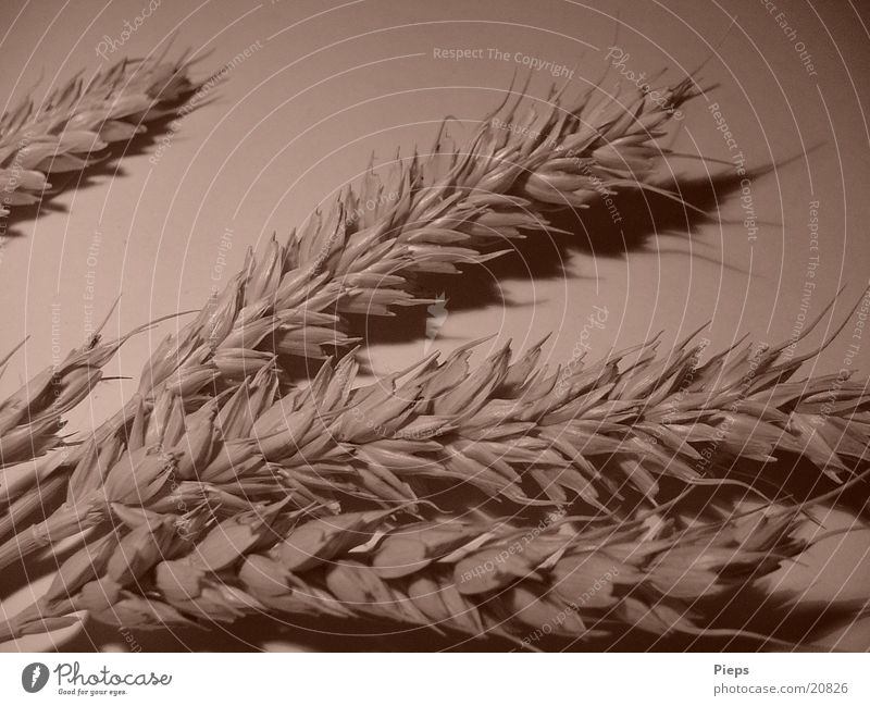 matter of ear Colour photo Interior shot Shadow Grain Plant Agricultural crop Field Healthy Wheat Blade of grass Sepia