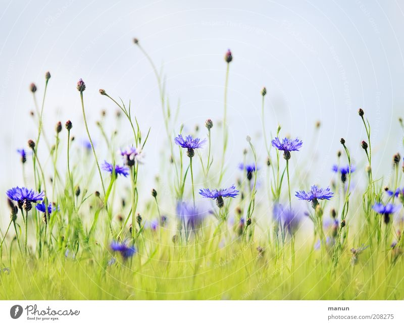 Nature Beautiful Flower Blue Plant Summer Meadow Blossom Bright Field Growth Bushes Natural Blossoming Environmental protection Cornflower