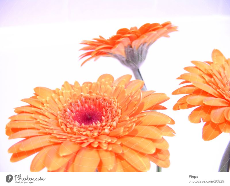 Reality of the pleasant kind (1) Colour photo Interior shot Joy Plant Summer Flower Blossom Blossoming Joie de vivre (Vitality) Transience Gerbera Orange