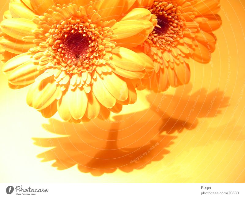 Plant Summer Flower Joy Yellow Warmth Blossom 2 Fresh Blossoming Transience Bouquet Surprise Valentine's Day Gerbera