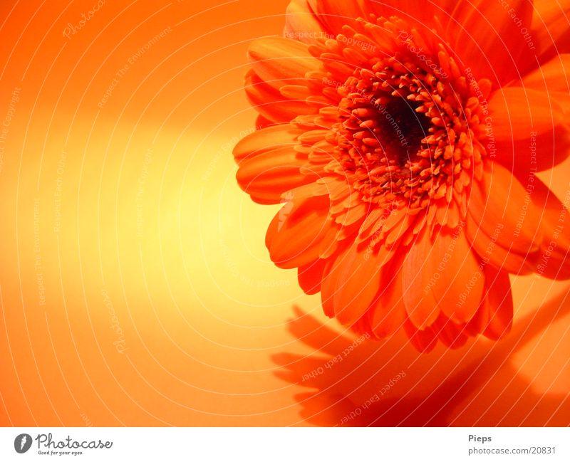 Flower Plant Joy Blossom Orange Transience Blossoming Gerbera