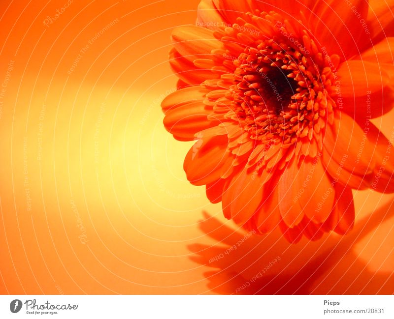 Reality of the pleasant kind (3) Colour photo Interior shot Shadow Joy Plant Flower Blossom Blossoming Transience Gerbera Orange