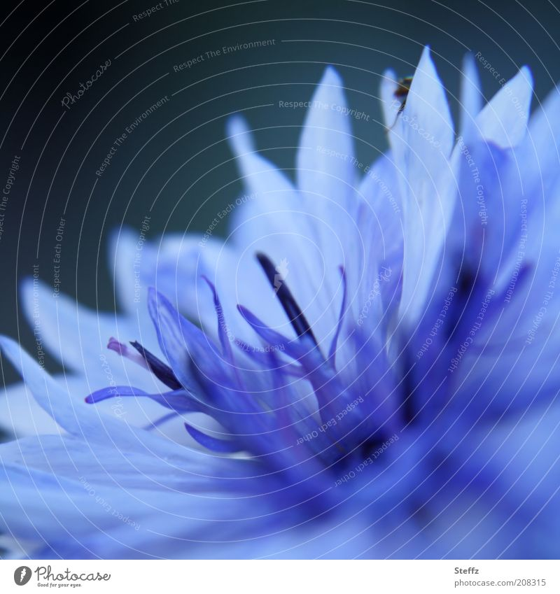 blue cornflower Cornflower cyanus Blue flower cornflower in bloom flowering flower Blue flower of romance blue blossom Meadow flower wild flower Uniqueness