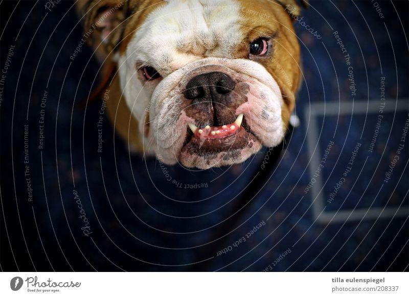Animal Eyes Dog Head Dangerous Cool (slang) Threat Point Observe Curiosity Animal face Pelt Protection Set of teeth Fat Whimsical