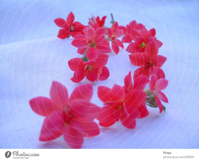 Floral hint (2) Colour photo Interior shot Close-up Nature Flower Blossom Pot plant Blossoming Red Romance Transience flaming kethchen Row kalanchoe Diminutive