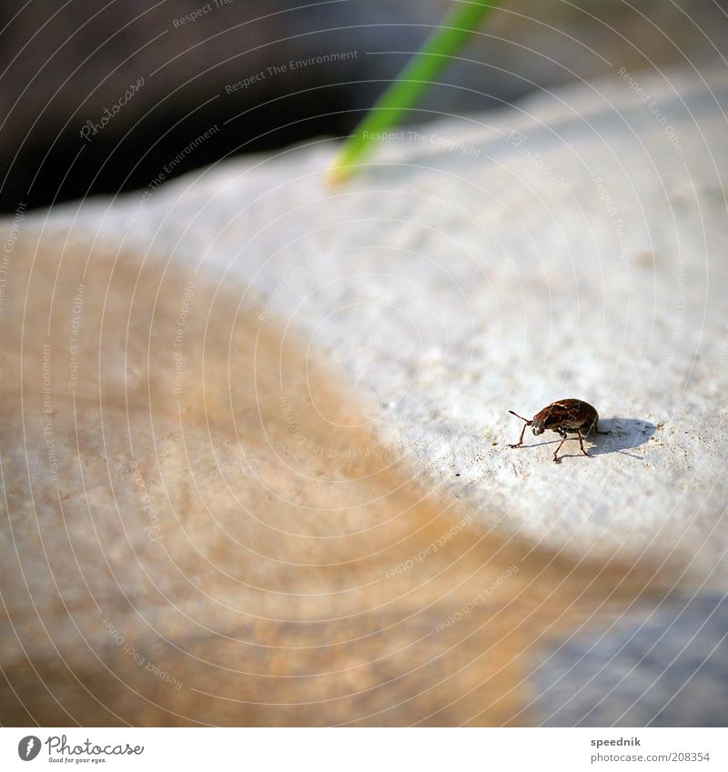 The little crawling Animal Wild animal Beetle 1 Crawl Small Brown White Environment Insect Colour photo Exterior shot Close-up Copy Space left Copy Space top