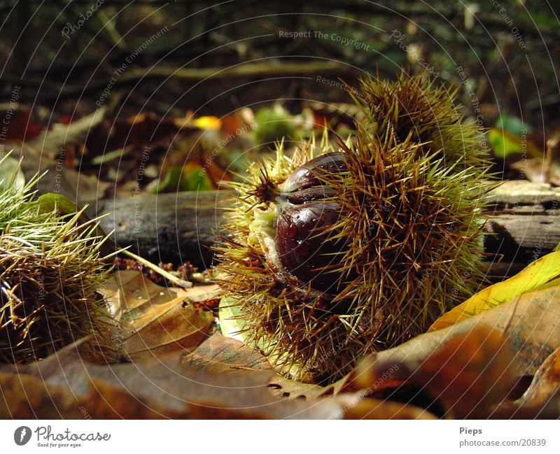 Mr Maroni Colour photo Exterior shot Detail Day Nature Autumn Leaf Forest Discover Glittering Growth Thorny Brown Transience Nut Sweet chestnut Chestnut tree