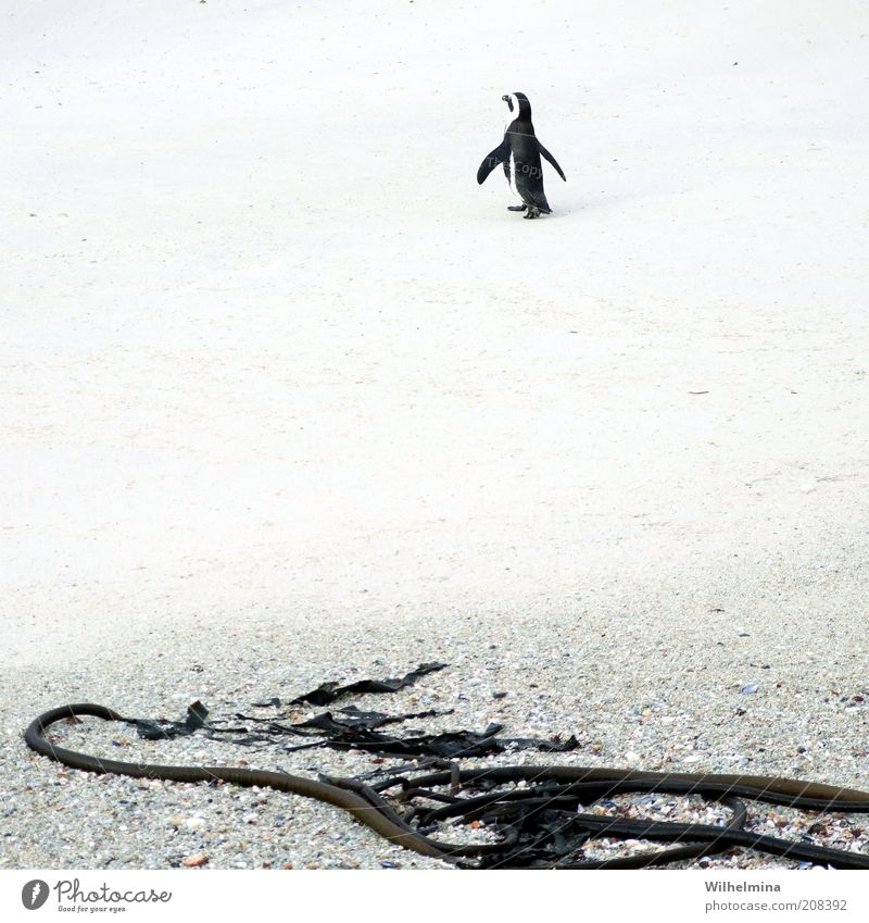 Beach Loneliness Animal Sand Wild animal Penguin