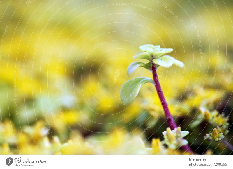 Yellow Sedum Nature Flower Green Plant Summer Leaf Life Europe Stand Ground Top Botany Depth of field Bud Pollen