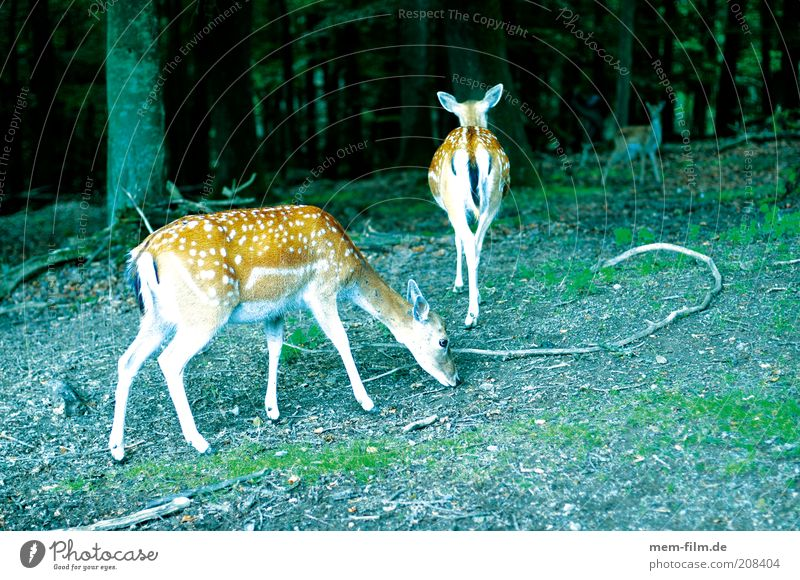 bambis friends Bambi Roe deer Wild animal Forest Fawn Point Fallow deer Deer Exterior shot Colour photo Deserted Group of animals Spotted To feed 3 Baby animal
