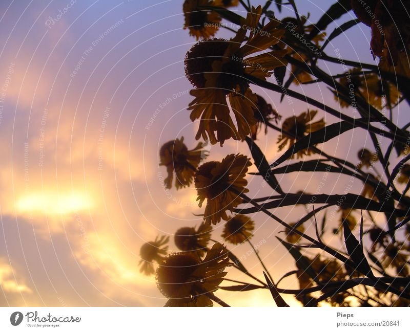 Evening in August 2 Colour photo Exterior shot Copy Space left Twilight Sunbeam Summer Nature Plant Clouds Flower Blossom Garden Blossoming Violet Moody flowers