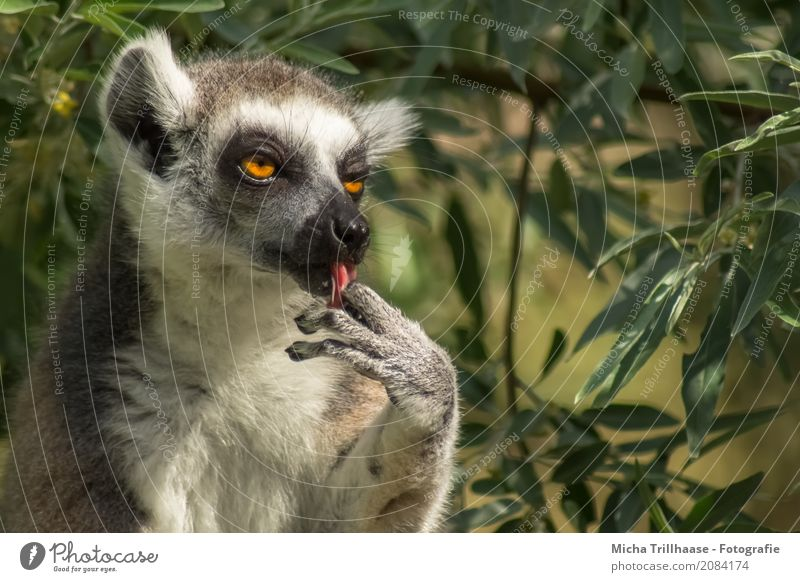 Lick all your fingers after it Environment Nature Animal Sun Sunlight Plant Tree Leaf Wild animal Animal face Pelt Paw Monkeys Ring-tailed Lemur Half-apes