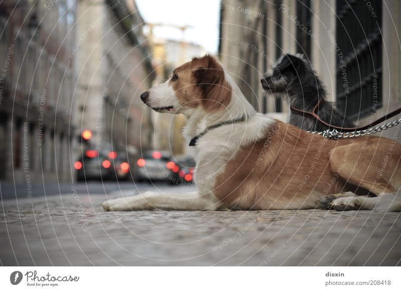 White City Animal Street Wall (building) Gray Dog Wall (barrier) Car Brown Small Together Wait Pair of animals Sit Large