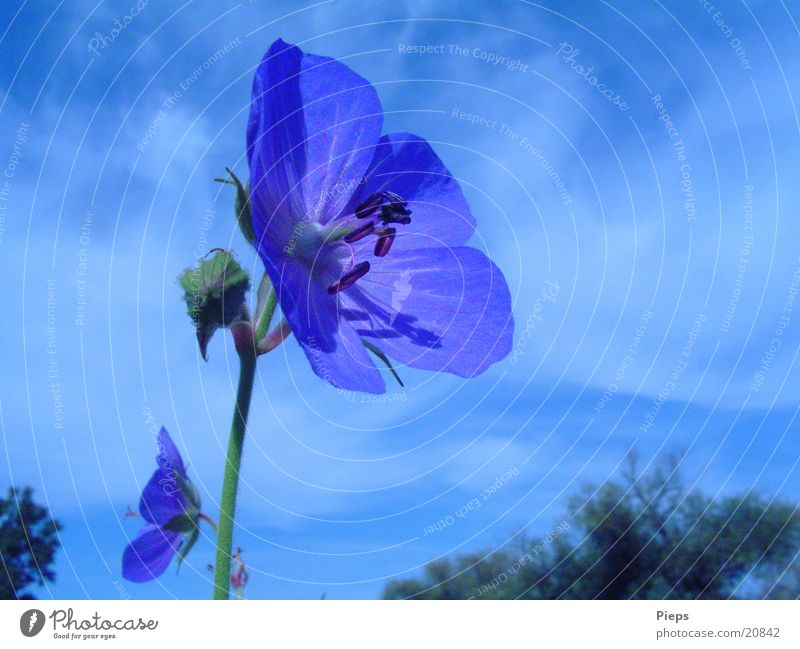 blue variety 1 Colour photo Exterior shot Close-up Day Summer Nature Plant Sky Flower Blossom Wild plant Meadow Blossoming Blue Transience blue blossom