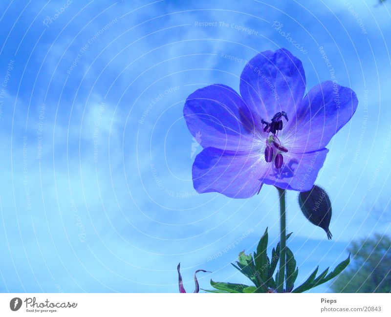 Nature Sky Flower Blue Plant Summer Meadow Blossom Transience Wild Bud
