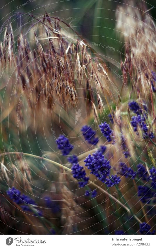 Nature Plant Summer Blossom Grass Field Environment Violet Wild Natural Grain Exotic Muddled Herbs and spices Lavender