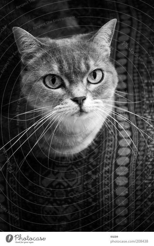 Cat Beautiful Animal Eyes Head Lie Natural Sit Contentment Cute Observe Chair Curiosity Pelt Animal face Watchfulness