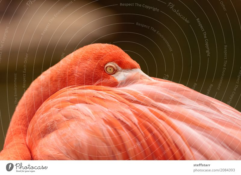 Pink Caribbean flamingo, Phoenicopterus ruber Eyes Animal Wild animal Bird Flamingo Animal face 1 Orange Red pink flamingo Wild bird breeding season wildlife