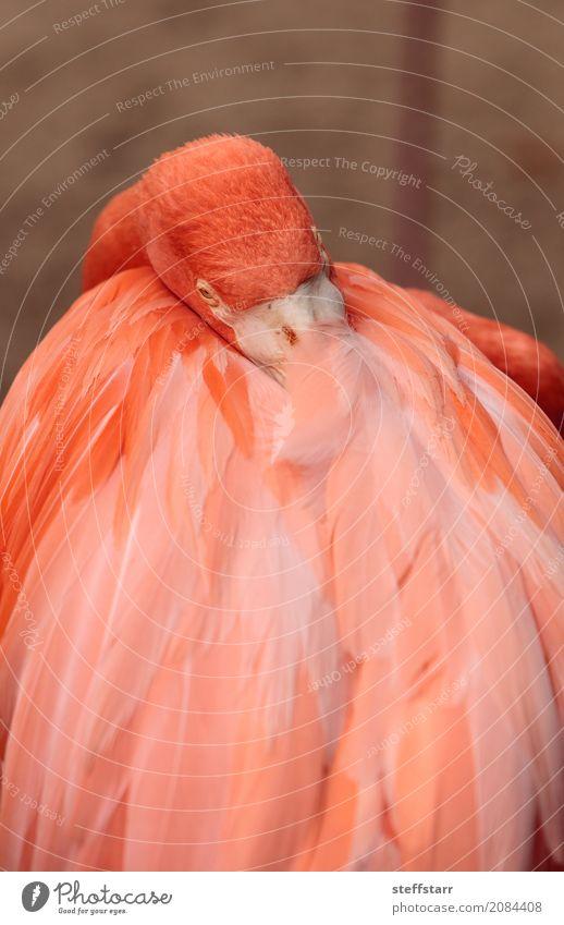 Pink Caribbean flamingo, Phoenicopterus ruber Animal Wild animal Bird Flamingo 1 Orange Red pink flamingo Wild bird breeding season wildlife avian fly egg