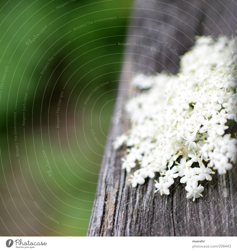 a little of everything Nature Spring Summer Plant Flower Bushes Blossom Green White Texture of wood Blur Detail Close-up Elder Colour photo Exterior shot