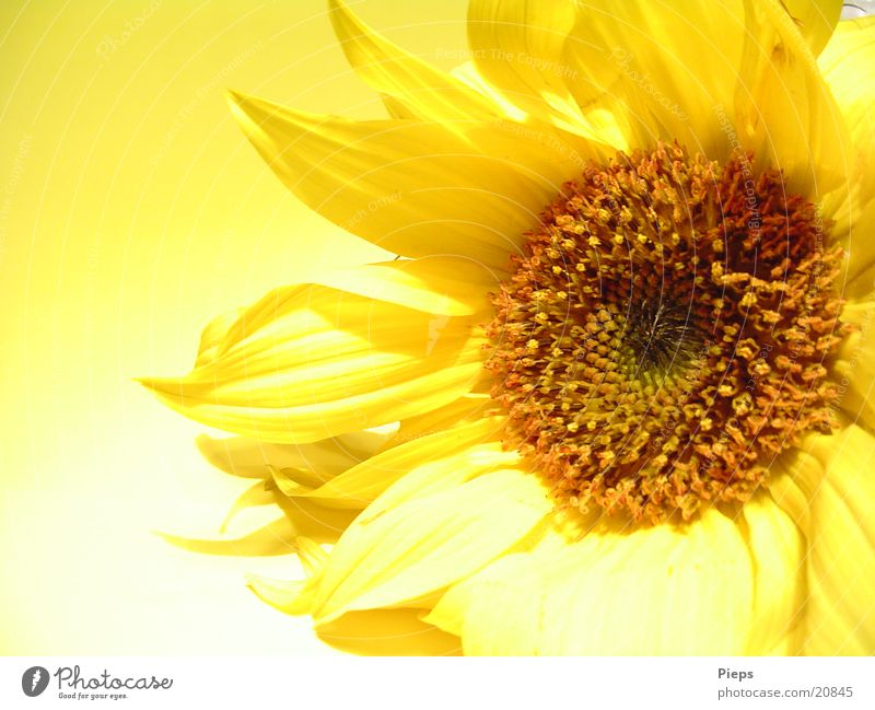 Nature Flower Plant Summer Yellow Autumn Blossom Garden Transience Natural Blossoming Sunflower Blossom leave Thanksgiving