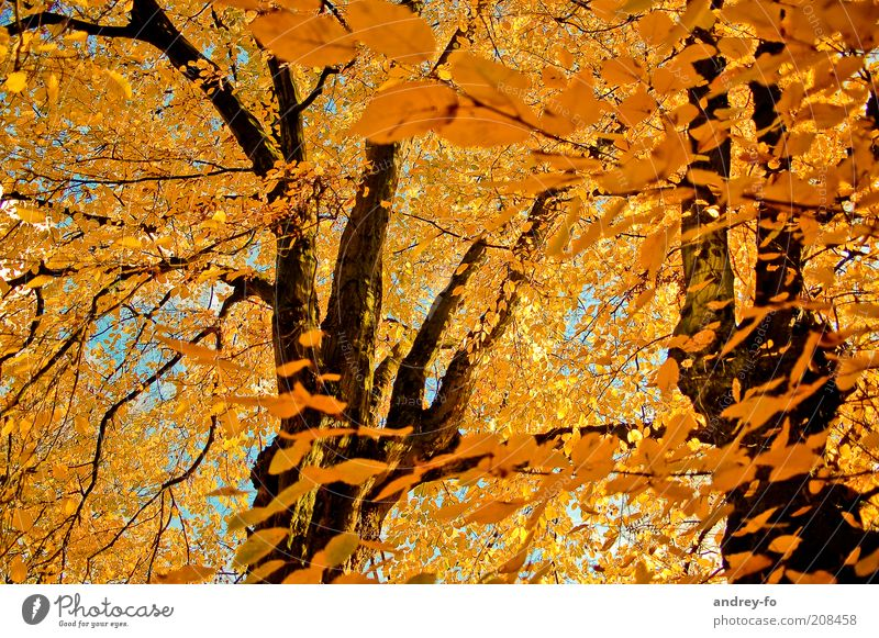 Nature Beautiful Tree Leaf Forest Yellow Autumn Warmth Wood Moody Orange Wind Beautiful weather Branch Tree trunk Autumn leaves