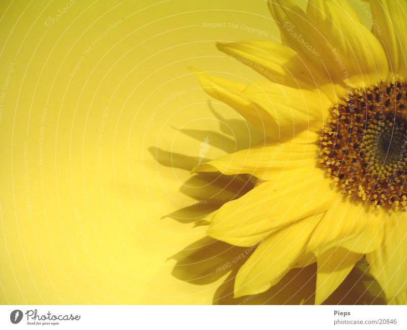 Flower Plant Summer Yellow Autumn Blossom Blossoming Sunflower Blossom leave