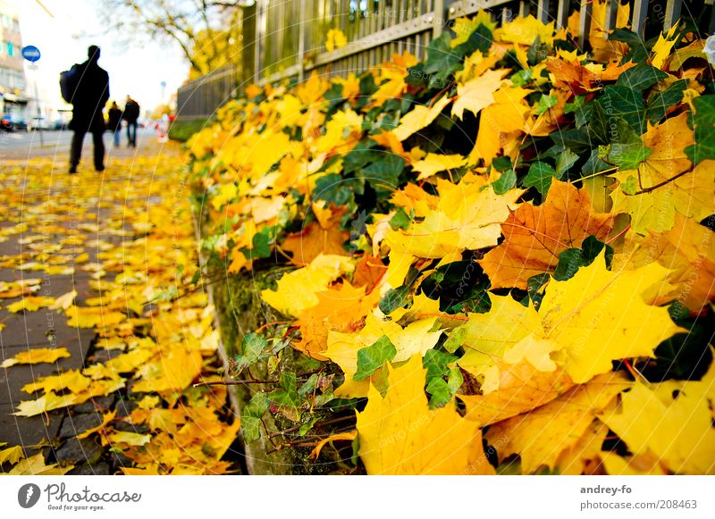 Human being Green Leaf Yellow Autumn Lanes & trails Gold Going Sidewalk Fence Seasons Autumn leaves Pedestrian Barrier Maple tree Ivy