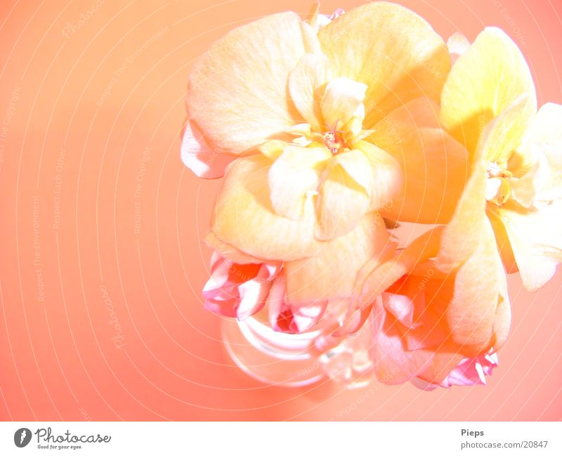 Flower Plant Summer Blossom 2 Pink Blossoming Vase Pastel tone Color gradient Geranium