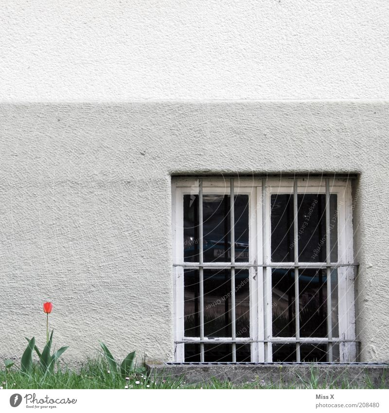 A tulip Flower Tulip Blossom House (Residential Structure) Wall (barrier) Wall (building) Window Blossoming Gloomy Grating Colour photo Exterior shot Deserted